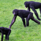bonobo kultura 02