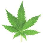 infusion-marihuana-3