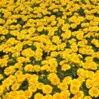 marigolds-2-1368250