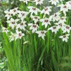 gladiolus murielae 03