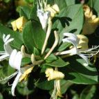 lonicera japonica halliana 03