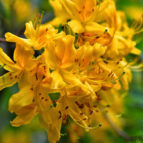 rhododendron luteum 13
