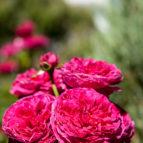 rosa falstaff 08