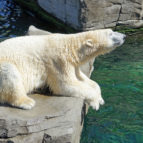 polar-bear-1096468_1920