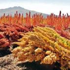 quinoa-4081567_1280